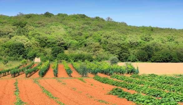 Weinanbau in der Baranja
